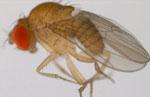 Drosophila_pseudoananassae_pseudoananassae