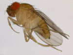 Drosophila_rhopaloa