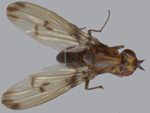Drosophila_silvestris