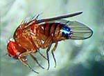 Drosophila_simulans_str__Mosaic