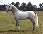 Equus_caballus_breed_Lipizzan