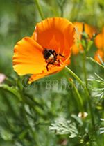 Eschscholzia_californica_subsp__californica