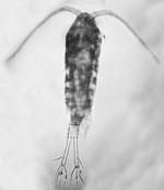 Eurytemora_affinis