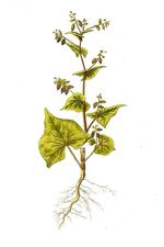 Fagopyrum_tataricum_cultivar_5_1