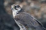Falco_cherrug