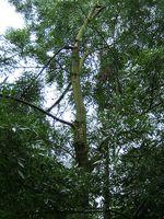 Fraxinus_angustifolia_subsp__oxycarpa
