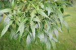 Fraxinus_angustifolia_subsp__syriaca