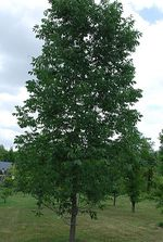 Fraxinus_chinensis