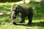 Gorilla_gorilla_gorilla