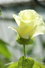 Gossypium_barbadense_cultivar_Xinhai21