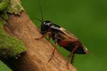 Gryllus_bimaculatus