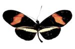 Heliconius_erato_demophoon