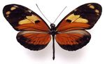 Heliconius_ismenius_metaphorus