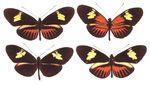 Heliconius_timareta_ssp__JD_2011