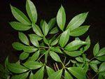 Hevea_brasiliensis_cultivar_reyan7_33_97