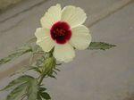 Hibiscus_cannabinus