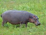 Hippopotamus_amphibius
