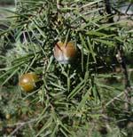Juniperus_oxycedrus