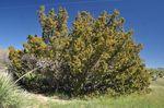 Juniperus_pinchotii