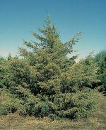 Juniperus_virginiana