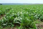 Lactuca_sativa_cultivar_Tizian