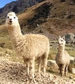 Lama_pacos