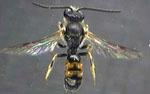 Lasioglossum_albipes