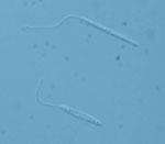 Leishmania_tarentolae