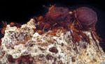Leucoagaricus_gongylophorus_Ac12