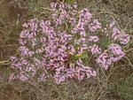 Limonium_bicolor