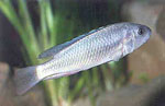 Lipochromis_sp___matumbi_hunter_