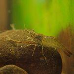 Macrobrachium_nipponense