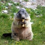 Marmota_marmota_marmota