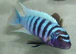Maylandia_zebra_str__Mazinzi_Reef