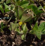 Medicago_truncatula_isolate_HM058