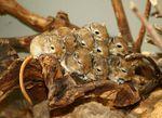 Meriones_unguiculatus
