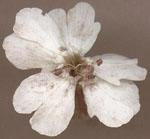 Microbotryum_violaceum_1118