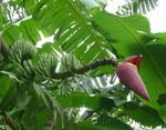 Musa_acuminata_subsp__malaccensis