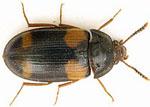 Mycetophagus_quadripustulatus