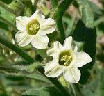 Nicotiana_obtusifolia