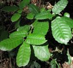 Notholithocarpus_densiflorus