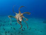 Octopus_cyanea