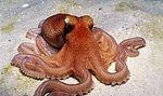 Octopus_kaurna