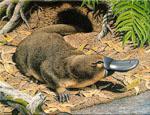 Ornithorhynchus_anatinus_isolate_Pmale09