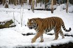 Panthera_tigris_altaica