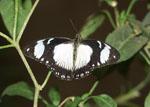 Papilio_dardanus