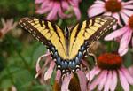 Papilio_glaucus