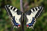 Papilio_machaon