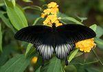 Papilio_memnon
