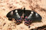 Papilio_polytes